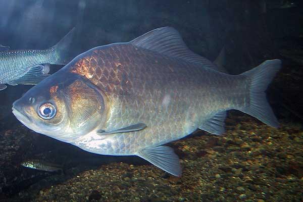 ゲンゴロウブナ(ヘラブナ)専門 @ 釣絶!魚ゲノム
