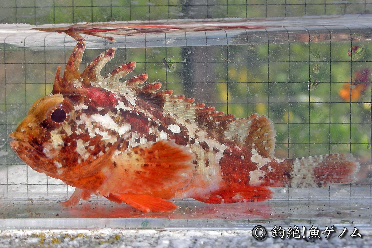 ハオコゼ専門 @ 釣絶!魚ゲノム